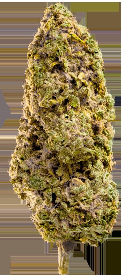 Fast Master bud Marijuana