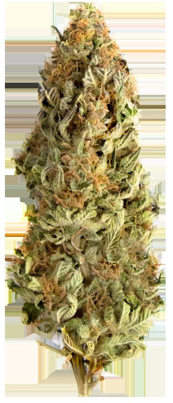 Mega CBD bud #2 Marijuana
